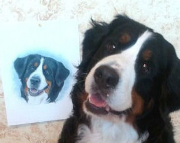 hand drawn dog pet portrait from photos bernese mountain dog