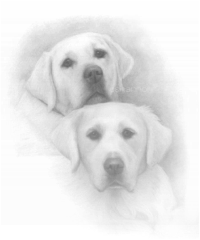 hand drawn pet portrait yellow labrador